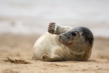 Zeehond op het strand van Bodo Balzer