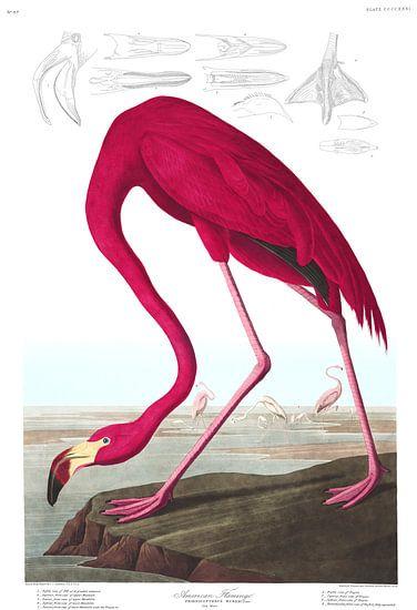 American Flamingo op wit, met legenda van Meesterlijcke Meesters