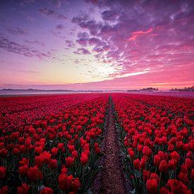 Champ de tulipes avec un beau ciel au lever du soleil sur Peter de Jong