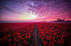 Tulpenveld met prachtige lucht tijdens zonsopkomst