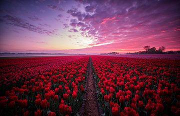 Tulpenfeld mit schönem Himmel bei Sonnenaufgang von Peter de Jong