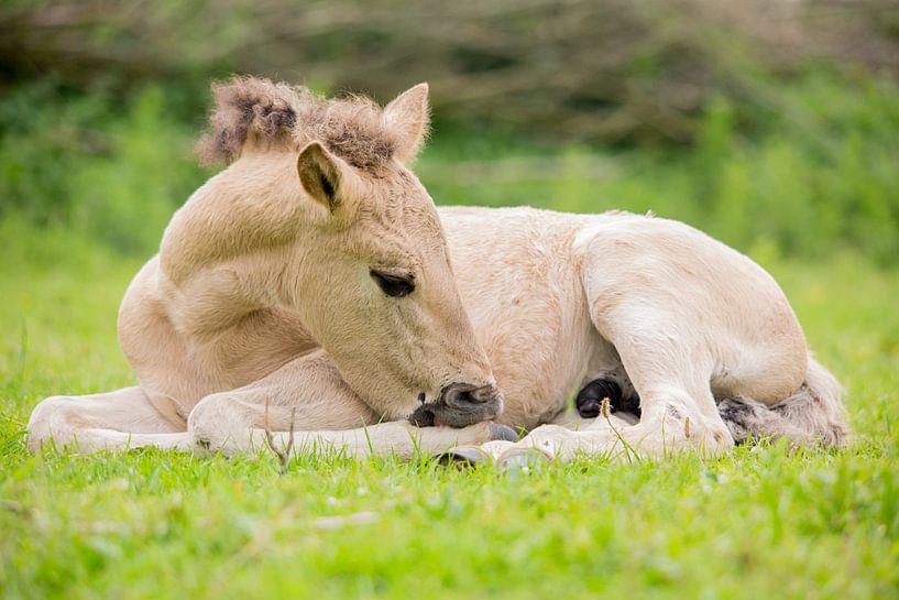 Paarden | Konikpaard veulen - Oostvaardersplassen van Servan Ott