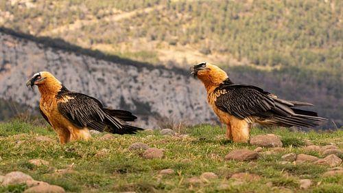 Paar lammergieren in de Spaanse bergen