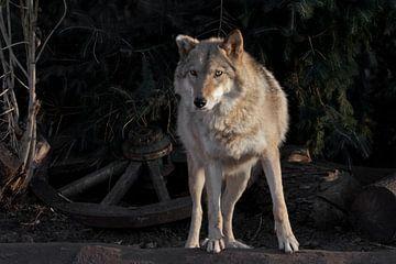 Une louve femelle magnifiquement éclairée par le soleil couchant, une bête de profil. sur Michael Semenov