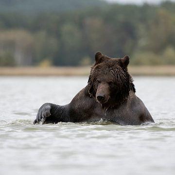 playing in water... Brown Bear *Ursus arctos* van