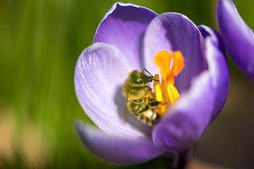 Biene in einem Krokus von Caroline Wirtz