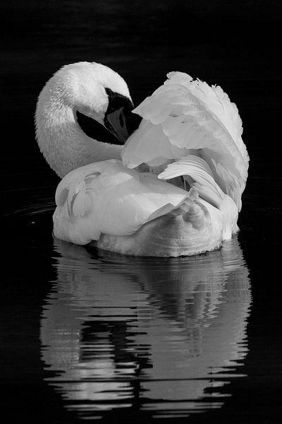 Vogels | Zwart wit dieren - knobbelzwaan, Oostvaardersplassen van Servan Ott