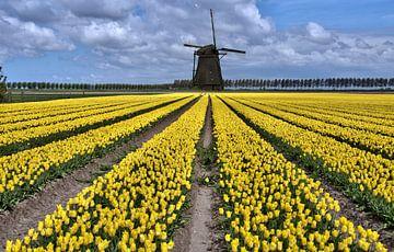 nederlands tulpenveld met gele tulpen en windmolen von Compuinfoto .