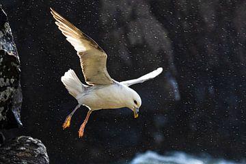 Noordse Stormvogel (Fulmarus glacialis auduboni)