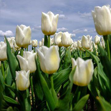 Fijne witte tulpen van Joke Beers-Blom