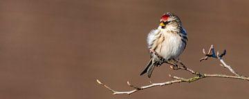 Toller Redpoll (Acanthis flammea) von Marcel Pietersen
