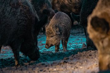 kleines Wildschwein unter seinen größeren Verwandten von bryan van willigen