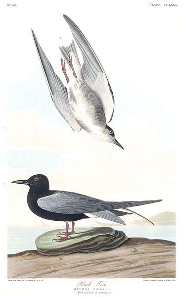 Trauerseeschwalbe von Birds of America