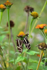 2 vlinders samen op een bloem van Wim Westmaas