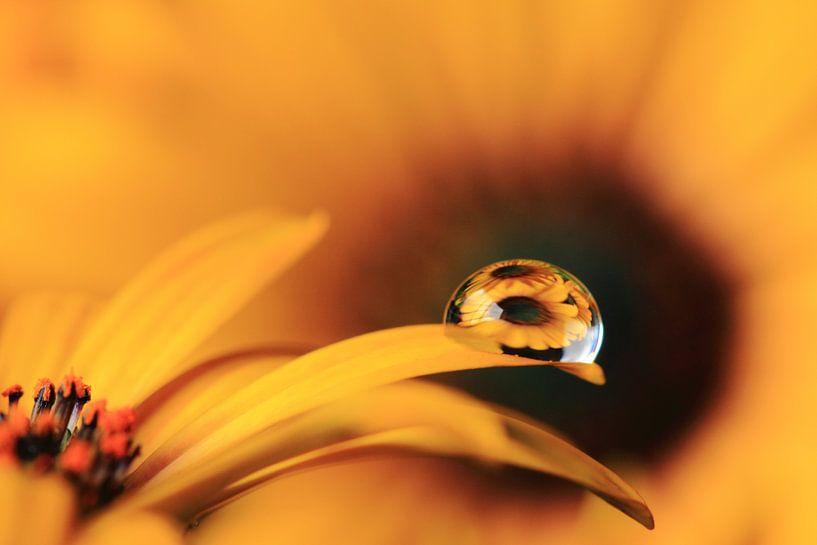 Spaanse margriet met reflectie in druppel. van Jacqueline Gerhardt
