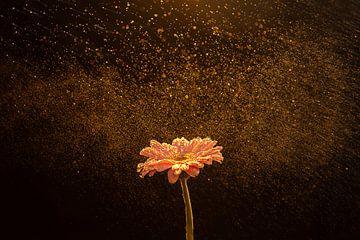 Roze Gerbera met gouden druppels en zwarte achtergrond van Renske Breur