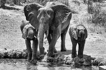 Boire des éléphants dans les plaines africaines