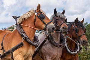 Driespan Trekpaarden hoofden portret van