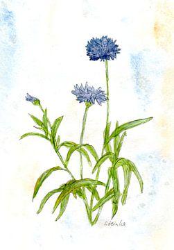 Kornblumenwiese von Sandra Steinke