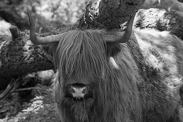 Schottischer Hochlandbewohner auf Tiengemeten von Merijn Loch