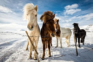 IJslandse Hair Style, Mike Leske van 1x