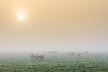 Schapen in de mist tijdens zonsopkomst van