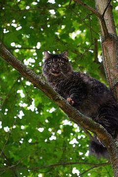 Norweger Katze im Baum sur Simone Marsig