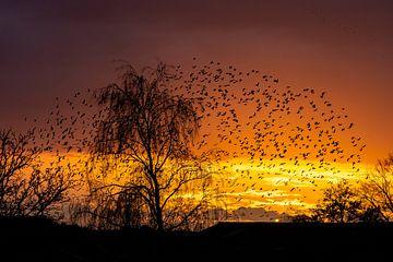 Starling sunset 2 van Yvonne van der Meij