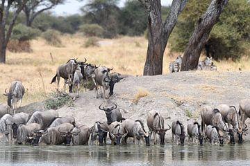 Op safari in Afrika: Kudde Wildebeesten aan het drinken bij een waterpoel van Koolspix