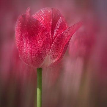 rote Tulpe von eric van der eijk