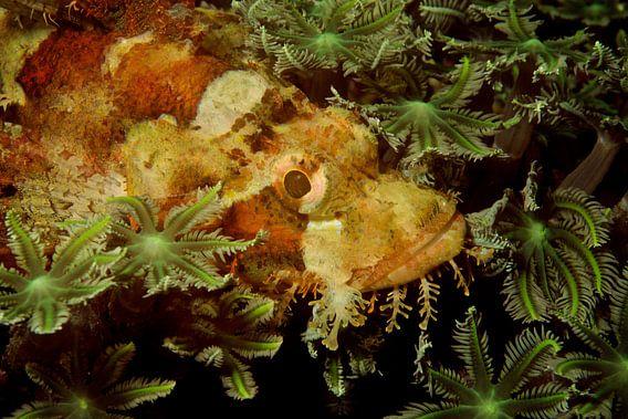 Verstopte schorpioenvis in het koraal