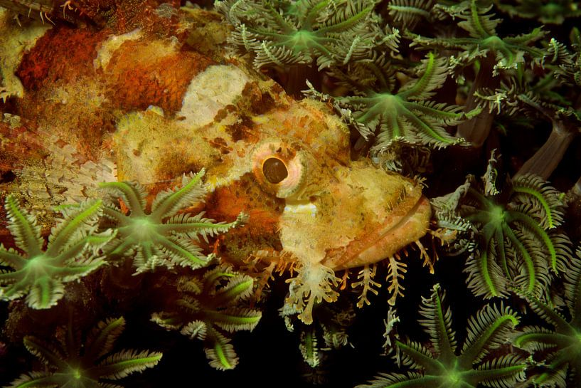 Verstopte schorpioenvis in het koraal van M&M Roding