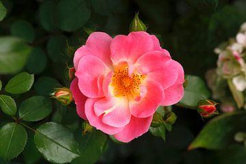 Rose van Thomas Jäger
