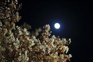 Bloesem in het maanlicht