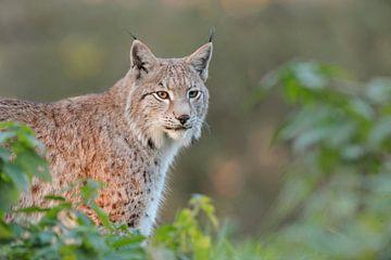Lynx / Euraziatische lynx ( Lynx lynx ), prachtig dier in natuurlijke omgeving met het mooiste licht van wunderbare Erde
