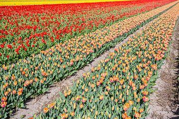 blumenfelder in den niederlanden von Eric van Nieuwland
