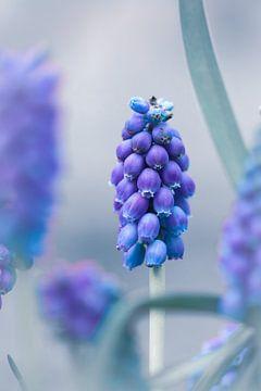 Weintrauben am Stiel von Sem Viersen