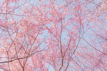 Bäume mit rosa Kirschblüten von Mickéle Godderis