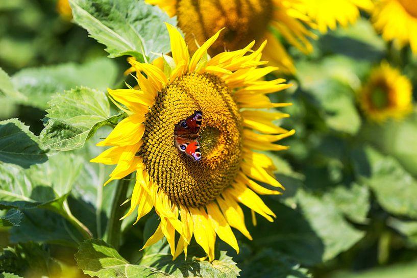 Sonnenblume mit Schmetterling von Frank Herrmann