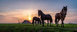 Friese paarden in de avondzon van
