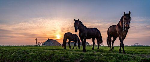 Friese paarden in de avondzon