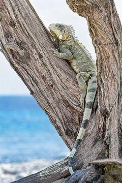 Groene leguaan klimt in boom aan kust van het eiland Bonaire van Ben Schonewille