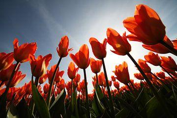 Tulpen. van Paolo Gant