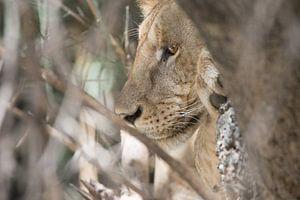 Leeuwin in boom van Maurits Kuiper