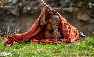 Baby Orang Oetan von Thomas Depauw