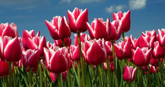Tulip Fields North Holland, Netherlands