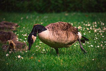 Wildgänse, Enten und Vögel genießen den Frühling auf einer saftig grünen  Wiese im Schloßpark in Bor von Off World Jack