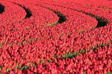 Rode tulpen - tulpenveld van Ronald Smits