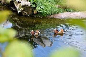 Two ducks von