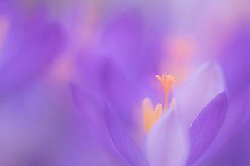 Krokusse in stimmungsvolles Licht. von Francis Dost